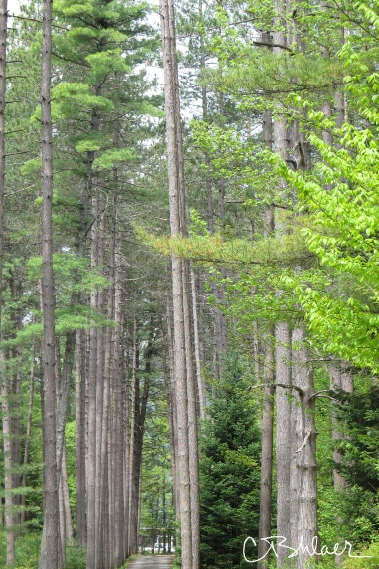 Single tannenbaum